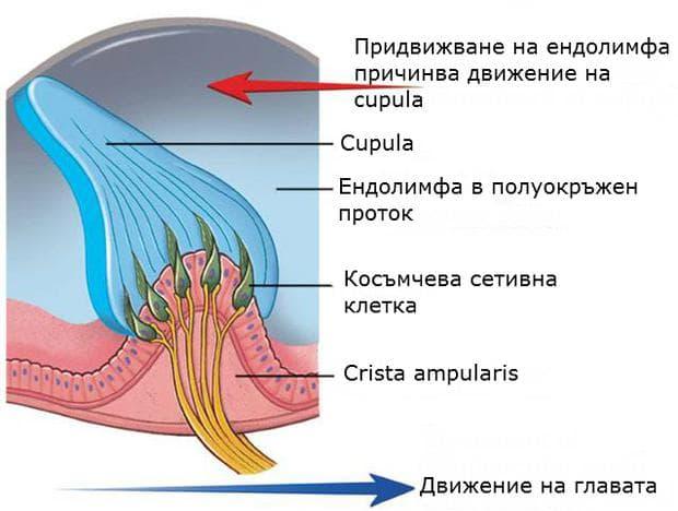 Изместване на апуларно гребенче при движение на главата