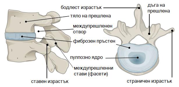 Анатомия на гръбначен стълб
