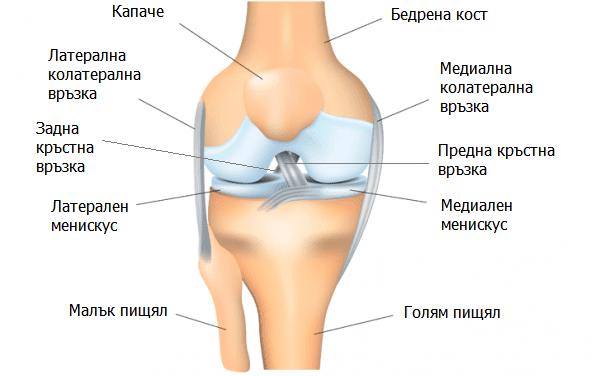 Анатомия на коляното