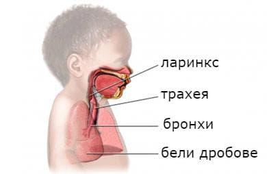 Структура дихателни пътища