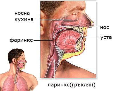 Анатомия горни дихателни пътища