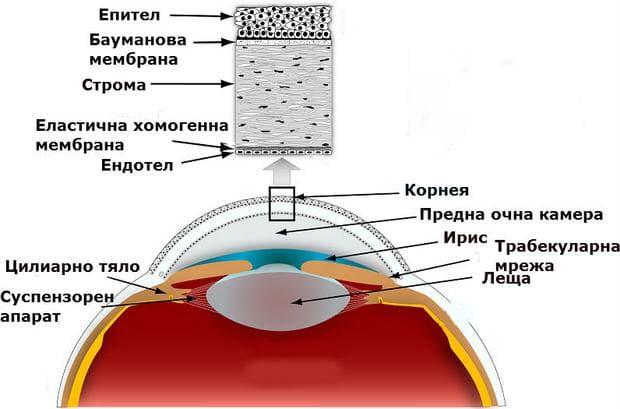 Анатомия на роговицата
