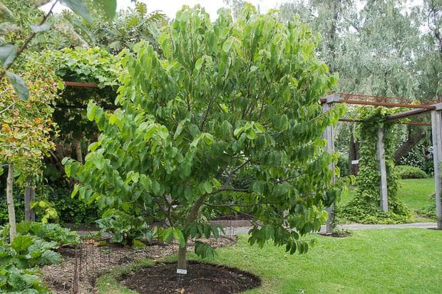 дърво черимоя
