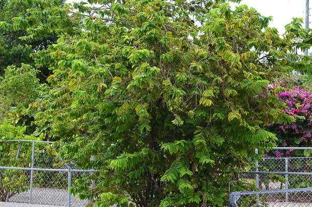 дърво анона