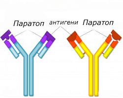 -binding-to-antibodies