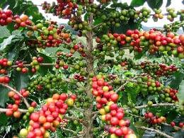 плодове на арабика