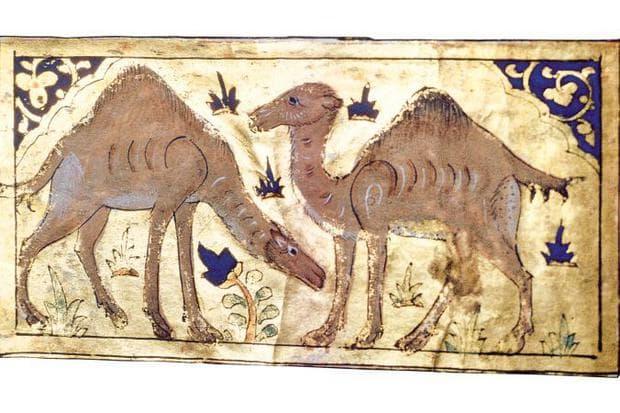 камила
