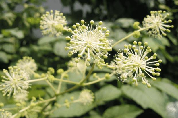 зелени плодчета на аралия