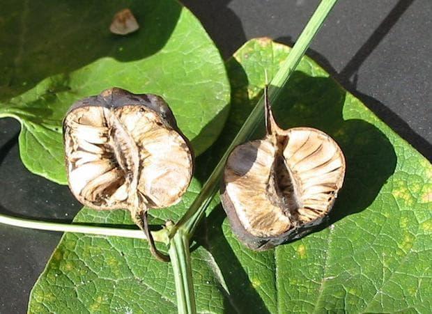 плодове със семена на вълча ябълка