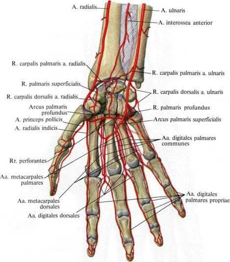 Артериални съдове на ръка