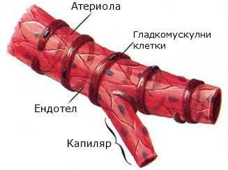 Структура на артериола