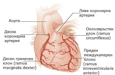Артерии на сърце