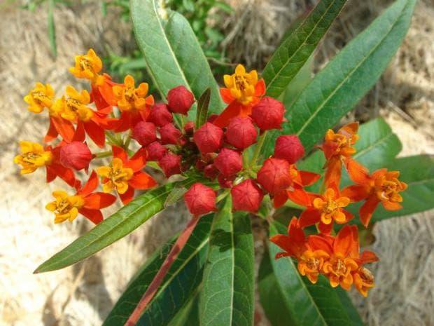 листа и цветове на копринено растение