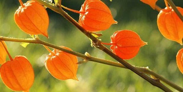 плод на ашваганда