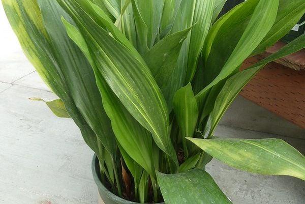 Аспидистра (семейно щастие) е красиво стайно растение.