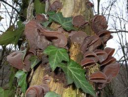 юдино ухо растящо върху широколистно дърво