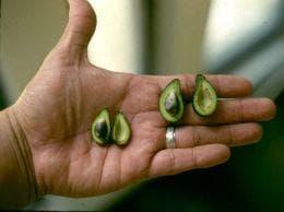 малко авокадо