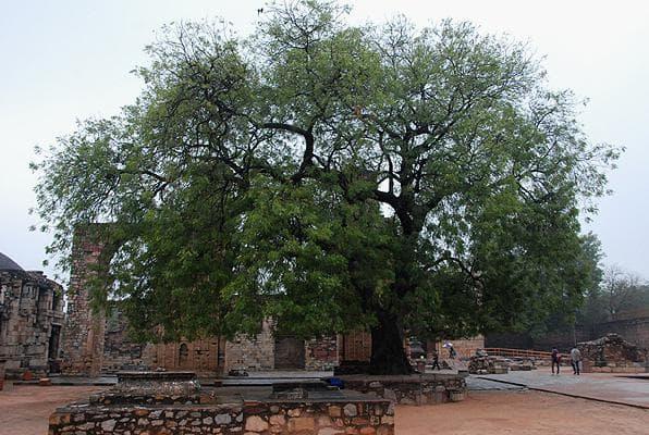 дърво мелия