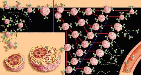 диференциация на В-лимфоцити