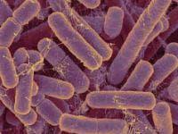 Bacillus fragilis като причина за болести, класифицирани другаде - структура