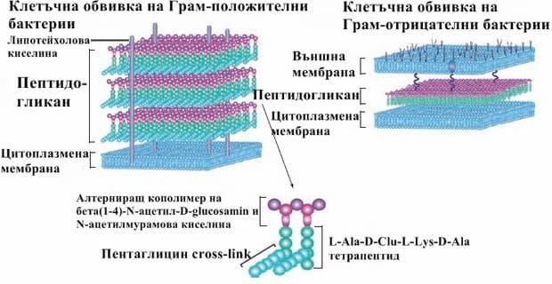 Клетъчна обвивка при бактериите