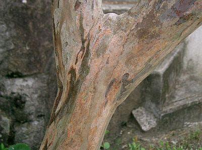 кора на банаба