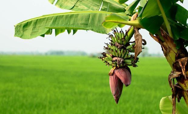 бананово растение
