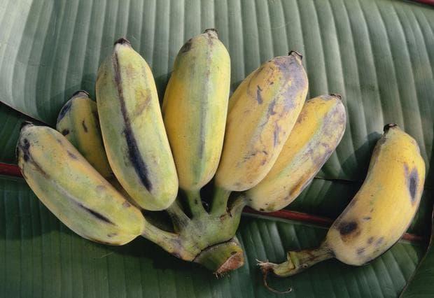 сорт банани ябълка