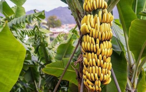 Учени работят над ДНК-то на бананите
