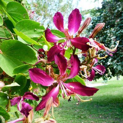 цикламено орхидеено дърво