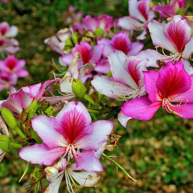 розово-бяла баухиния