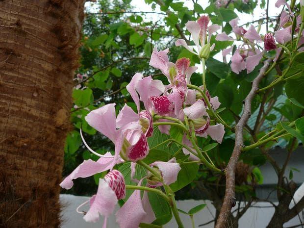 орхидеено дърво - съцветия