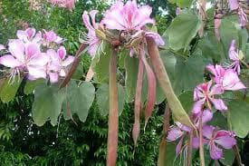 плодове на пъстра баухиния