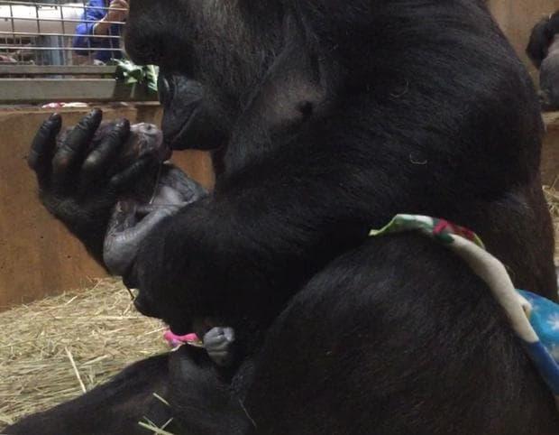 Майката Калая с нейното бебе горила Моук