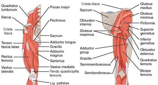 Мускули на бедрото