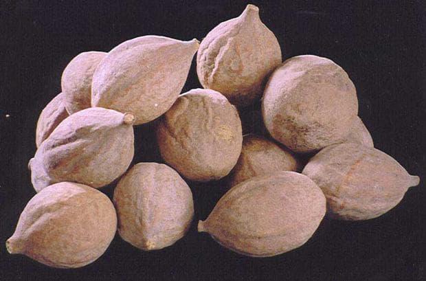 бибитаки плод
