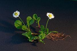 цяло растение паричка
