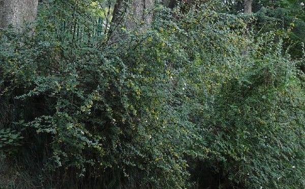куркуминово дърво