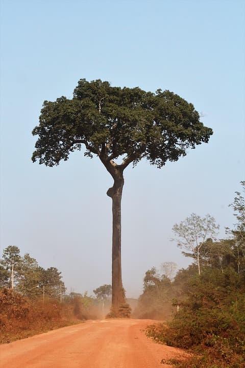 дърво бразилкси орех