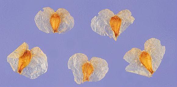 семена на бяла бреза