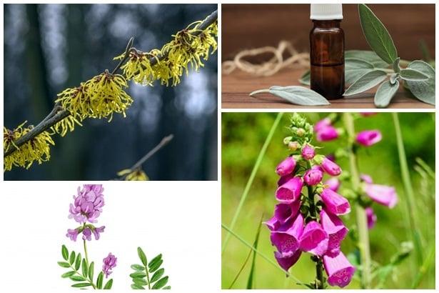 хамамелис, градински чай, астрагалус, реймания