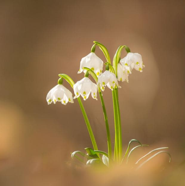 кокиче блатно пролетно