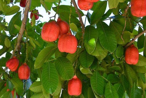 зрял плод аки