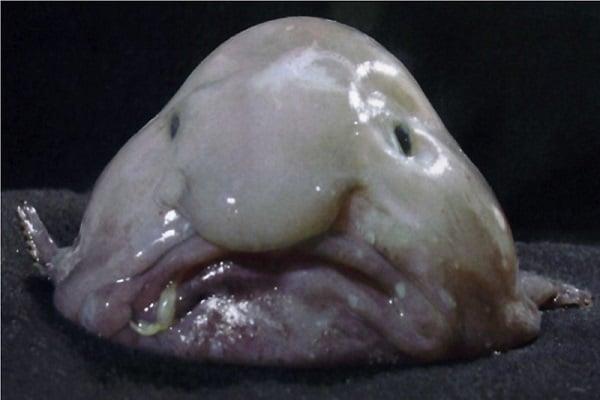 риба блоб фиш