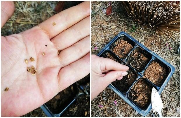 Босилек от семена