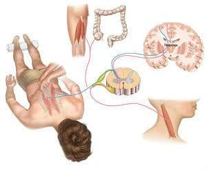 връзка между мускулна тъкан и ЦНС