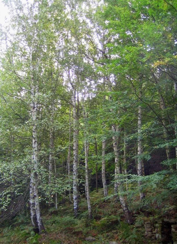 гора от бяла бреза