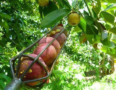 бране на мангостин