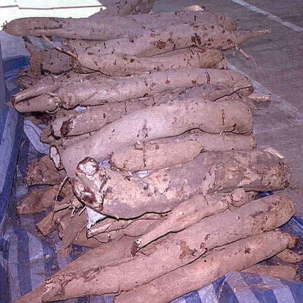 корени на бутеа суперба