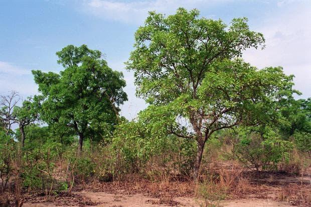 карите дърво